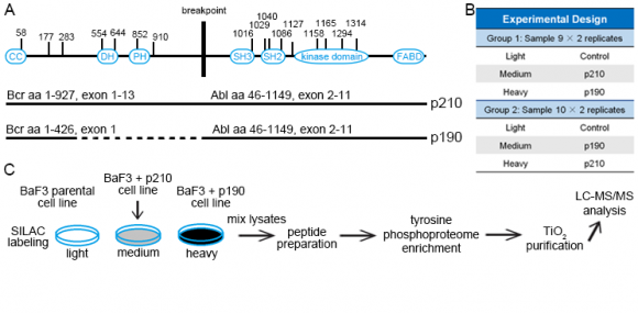 Figure 1. Bcr-Abl protein domain organization (A) and overview of the phosphoproteome experiments (B, C).